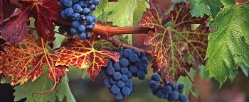 baja wineries_wine grapes